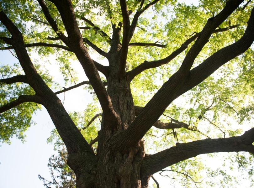 A large oak tree backlight by sunlight