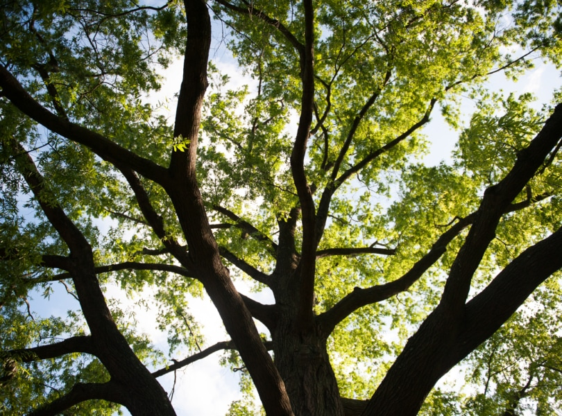 The sun shines through the branches of a large willow oak tree on the Rock Spring campus.